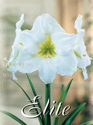 Amaryllis weiß, Hippeastrum (Art.Nr. 596380)