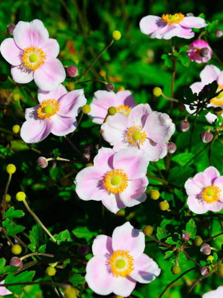 Blüte der China-Anemone 'Ouvertüre'