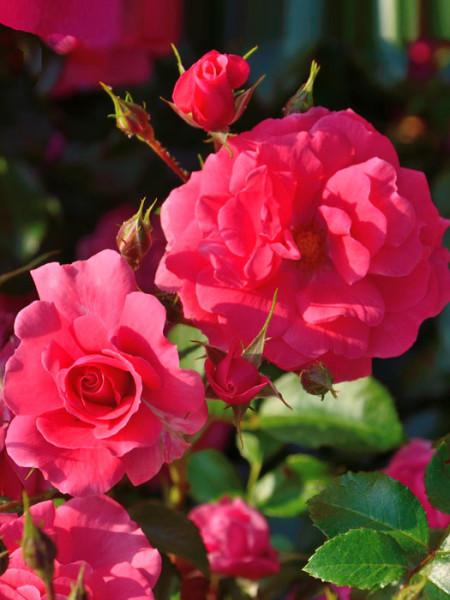 Blüte der Rose Bad Brinbach