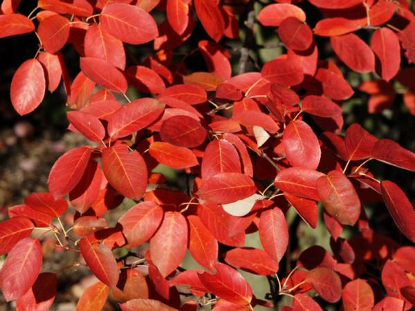 Leuchtend rote Herbstfärbung der Kupfer-Felsenbirne