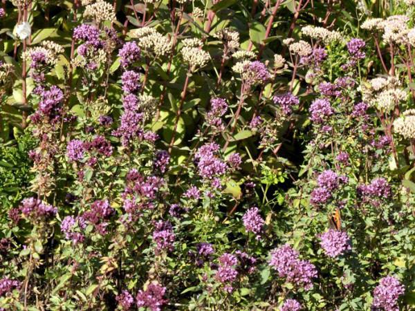 Heidegünsel Herrenhausen Pflanze