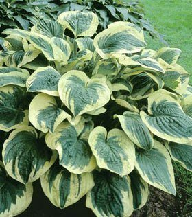 hosta_twilight_1