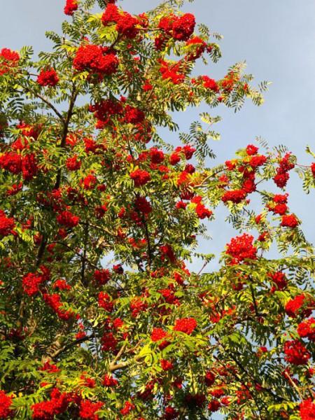 Sorbus aucuparia 'Edulis', Mährische (essbare) Eberesche