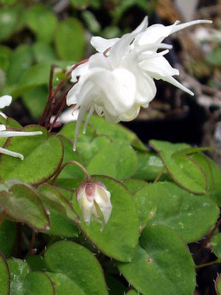 Blüte der großblumigen Elfenblume 'Nanum'
