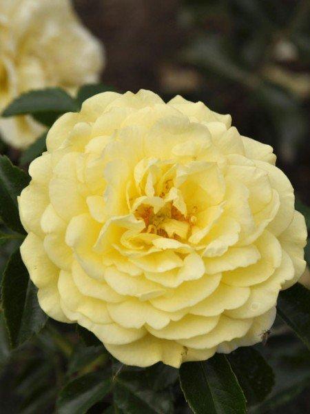 Blüte der Rose Solero