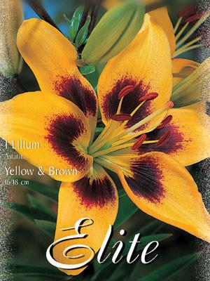 Asiatische Lilien-Hybride 'Gelb mit Braun' (Art.Nr. 597112)
