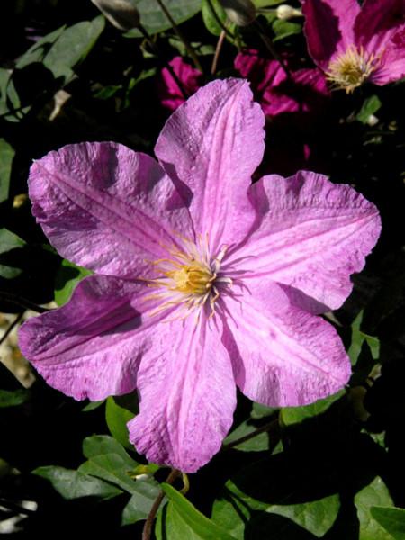 Einzelblüte der Clematis 'Comtesse de Bouchard'