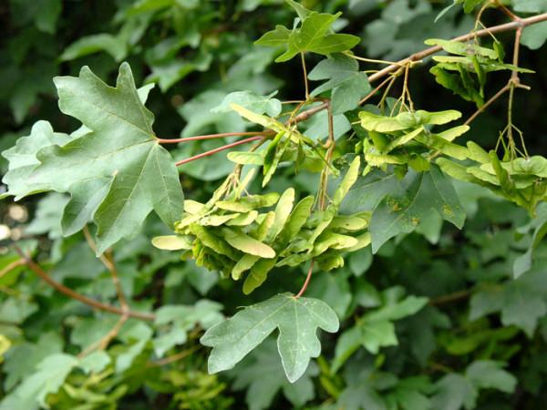 Samen der Acer campestre