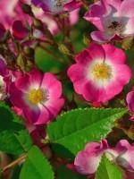 Rose Mozart ® - Lambert