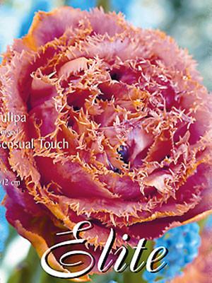 Gefüllte gefranste Tulpe 'Sensual Touch' (Art.Nr. 595528)