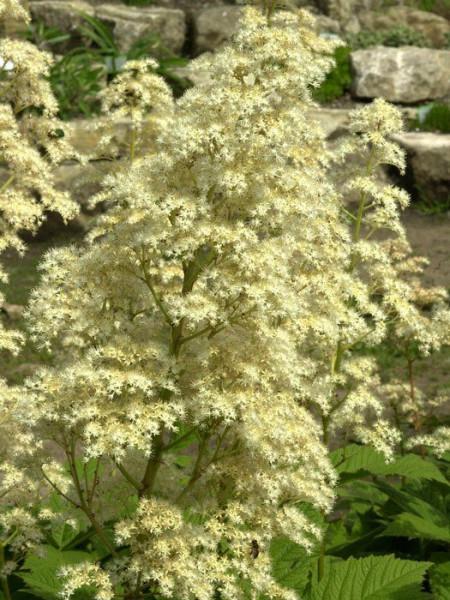 Rodgersia aesculifolia, Kastanienblättriges Schaublatt