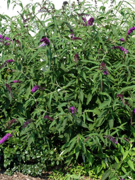 Sommerflieder-Strauch 'Royal Red' mit  Blüten