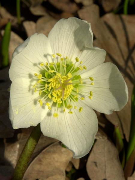Blüte der Schneerose