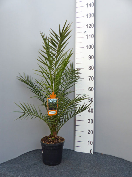 Dattelpalme als Pflanze im Topf