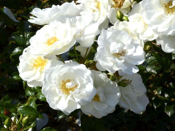 Blüten der Rose Innocencia