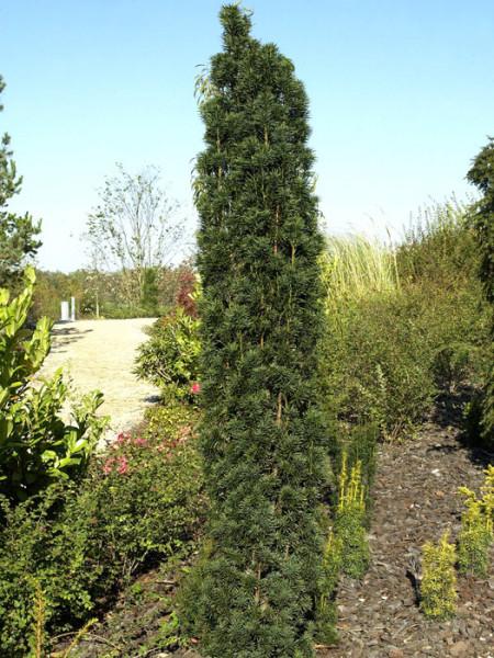 Säuleneibe Solitärpflanze