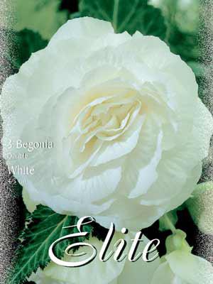 Riesenblumige Begonie 'White', Begonia gigantea (Art.Nr. 520842)