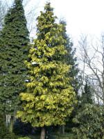 Chamaecyparis lawsoniana 'Golden Wonder', Gelbe Scheinzypresse