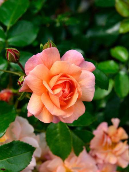 Rosen-Stämmchen Aprikola ® - Kordes