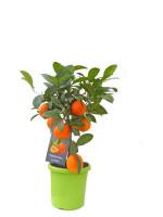 Limettenbaum 'Mandarinen-Limette' - Lime Time®