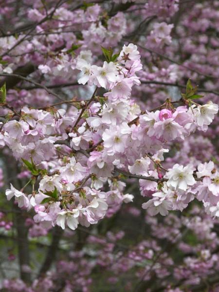 Schneekirsche Blüte