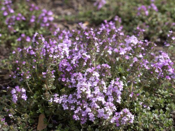 Thymus serpyllum, Sandthymian, Teppich-Thymian