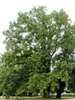 Quercus robur, Stiel-Eiche