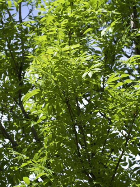 Fraxinus excelsior, Esche