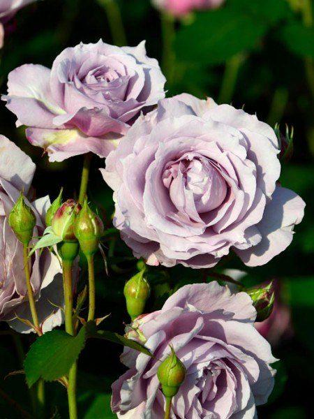 Blüte der Rose Novalis