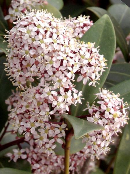 Frucht-Skimmie Blüte