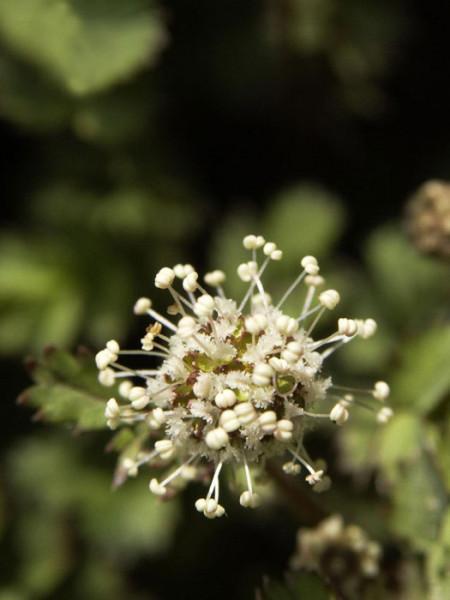 Kugeliger Blütenstand