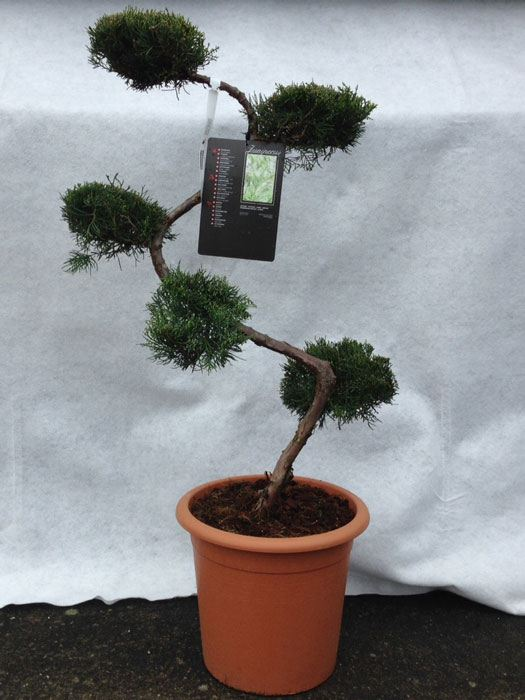 bonsai juniperus grey owl kaufen gartencenter shop24. Black Bedroom Furniture Sets. Home Design Ideas