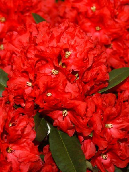 Rhododendron 'Rabatz'