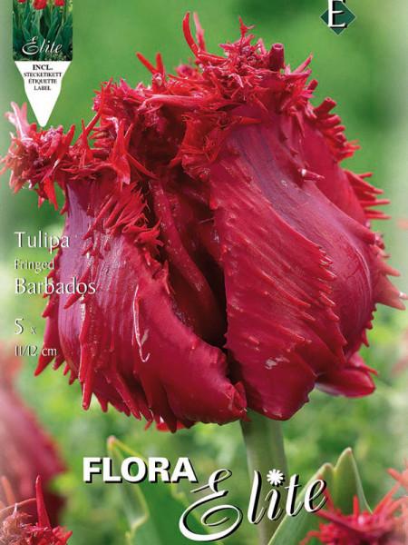 Tulpe Barbados