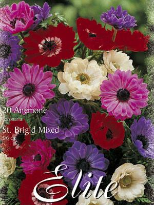 Anemone St. Brigid-Prachtmischung (Art.Nr. 596432)