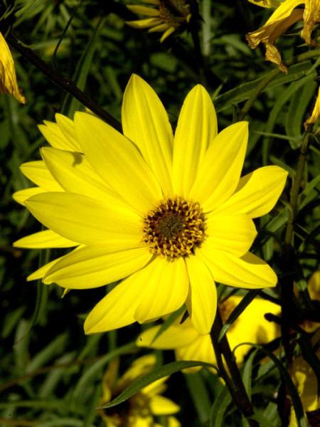Helianthus salicifolius, Weidenblättrige Sonnenblume
