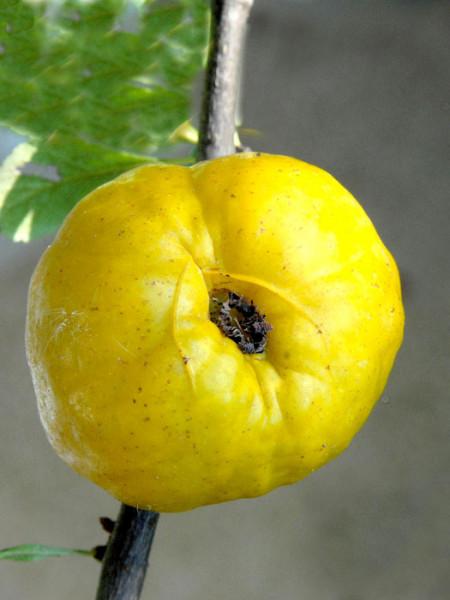 Nordische Zitrone, essbare Zierquitte