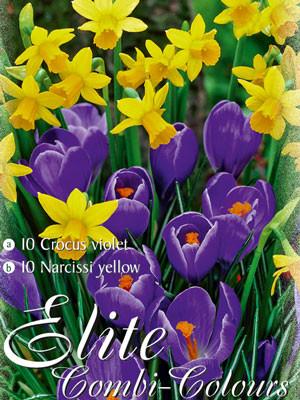 Edle Farbkombination mit großblumigen, blauen Krokusund botanischen, gelben Narzissen (Art.Nr. 598016)