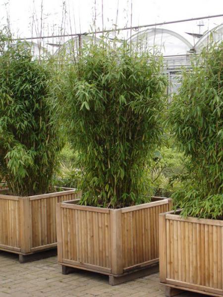Fargesia murielae 'Jumbo', Schirm-Bambus