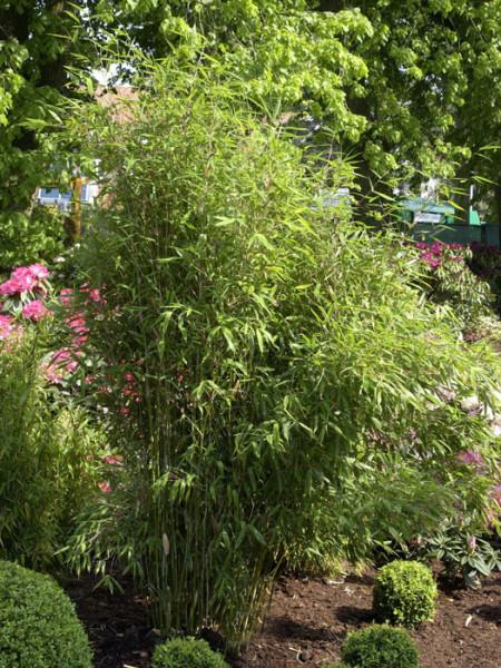 Fargesia scabrida, Purpur-Bambus, Garten-Bambus