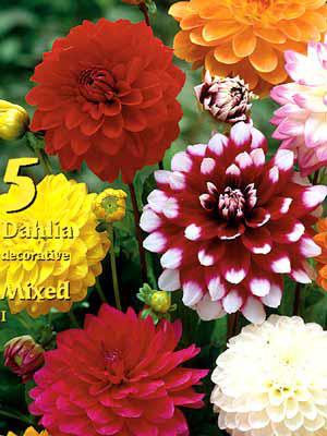 Beet-Dahlien-Prachtmischung, Dahlia (Art.Nr. 522300)