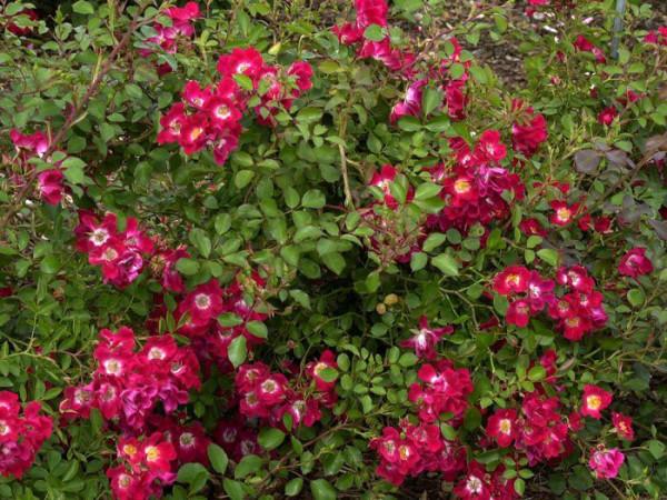 Strauch der Rose Meidiland