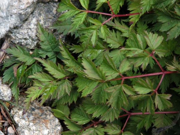 Aruncus aethusifolius, Zwerg-Geißbart, Wald-Geißbart