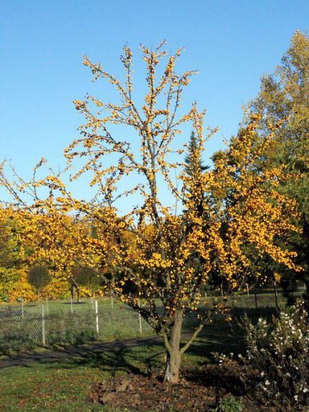 Gelber Zierapfel Golden Hornet Pflanze
