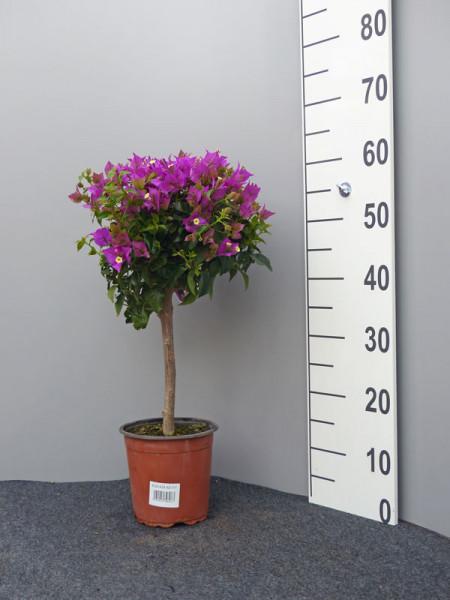 Bougainvillea 'Glabra Sanderiana', lila-blättrige Bougainvillea