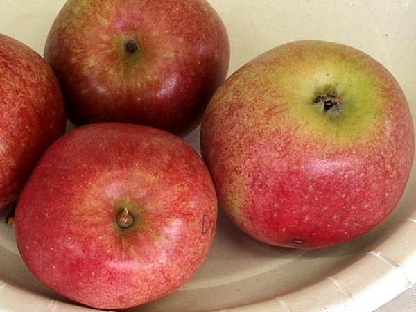 Der Bohnapfel