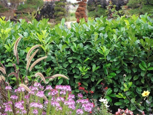 Kirschlorbeer Rotundifolia Strauch