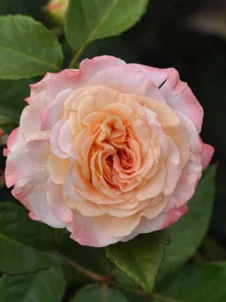 Blüte der Rose Augusta Luise