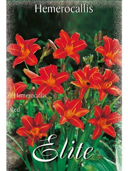 Taglilie 'Pardon Me', Hemerocallis (Art.Nr. 521454)