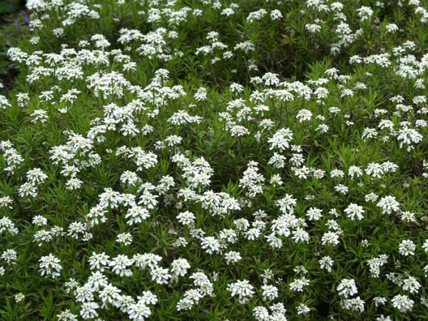 Iberis sempervirens 'Weißer Zwerg' (M), Schleifenblume
